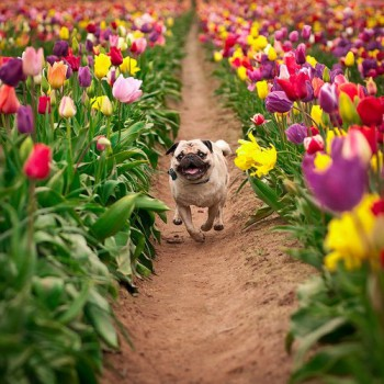 Flower power dog tulips