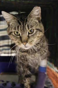 cat after medical care at FACE spay neuter clinic